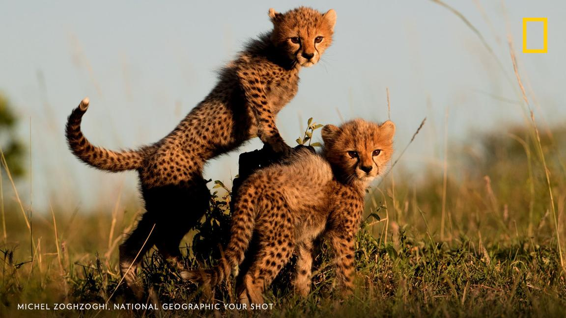 """After driving around for a few hours we finally located the cheetah cubs and their mother,"" writes Your Shot photographer Michel Zoghzoghi. ""We stayed with them until the evening. I took this photo as the sun was setting."" https://on.natgeo.com/2ZTCnwX"