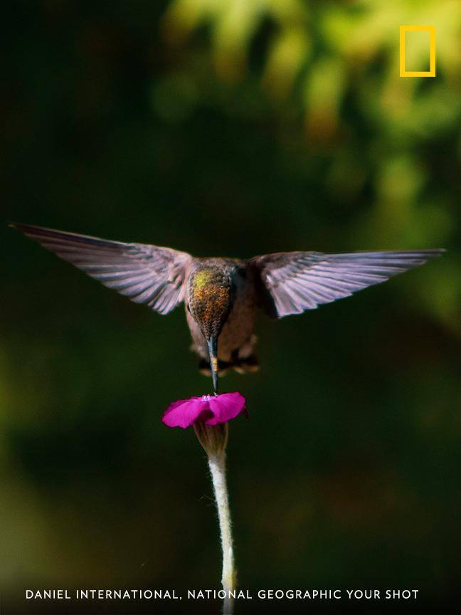 Your Shot photographer Daniel International captured this perfect moment as a hummingbird visited his garden. https://on.natgeo.com/2ZEkNwx