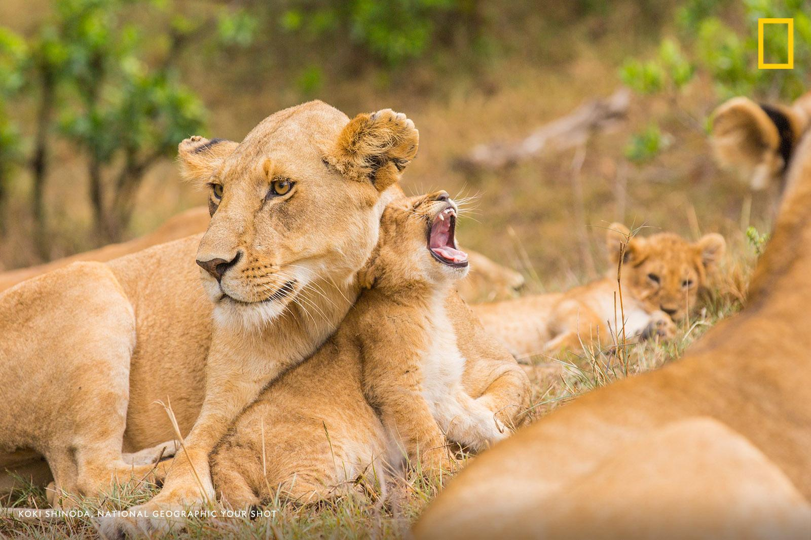 Wake up! It's officially #WorldLionDay and we're ready to celebrate these magnificent big cats. https://on.natgeo.com/31wcrba