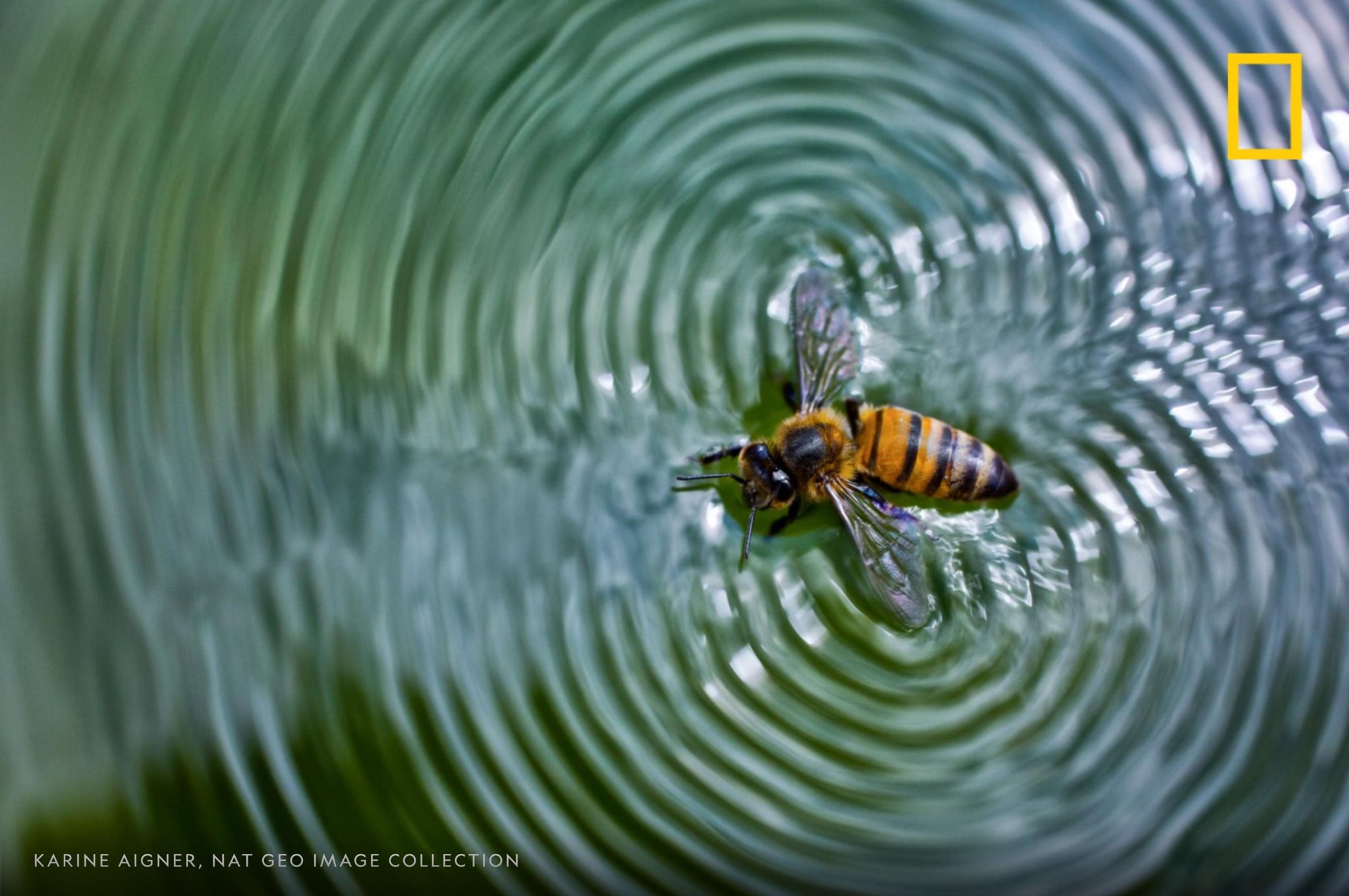Just like every other living thing, honeybees need water to survive. During the summer, a hive needs at least a liter of water per day. #NationalHoneyBeeDay https://on.natgeo.com/31D80LE