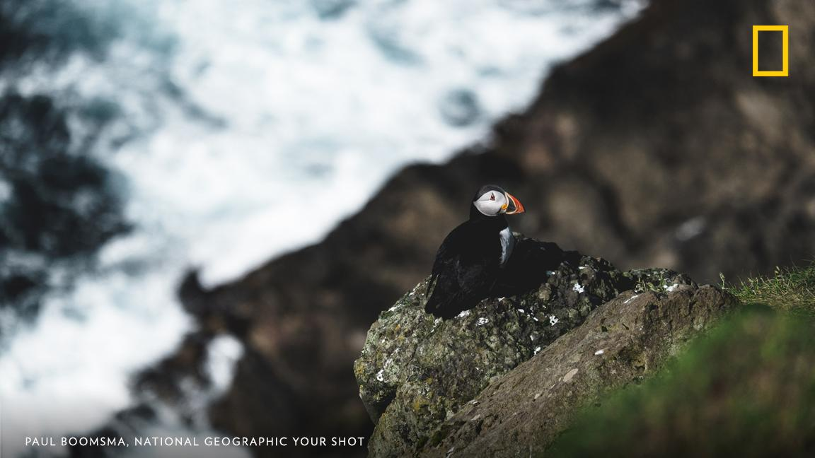 """Hiking around the cliffs of Mykines in The Faroe Islands, I spotted a puffin sitting on the edge of the rocks below watching the waves come crashing in,"" writes Your Shot photographer Paul Boomsma. https://on.natgeo.com/2TXPT0t"